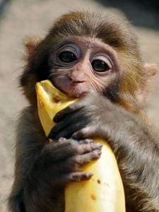 monkey-bananav2