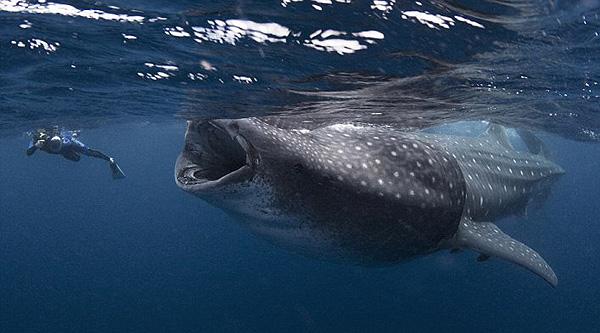 whale-shark-by-mauricio-handler-600p